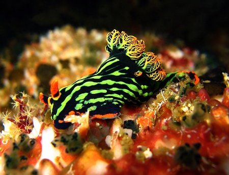 nudi: Nembrotha Kubaryana, Malapascua, Philippines Stock Photo