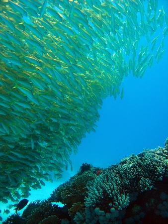 goatfish: School of Yellowfin Goatfish, Hurghada, Egypt