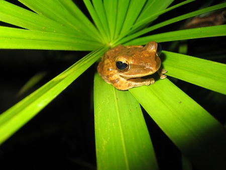 Frog, Khao Sok, Thailand photo