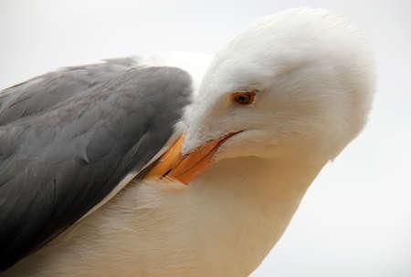 monterey: Seagull, Monterey, California, USA