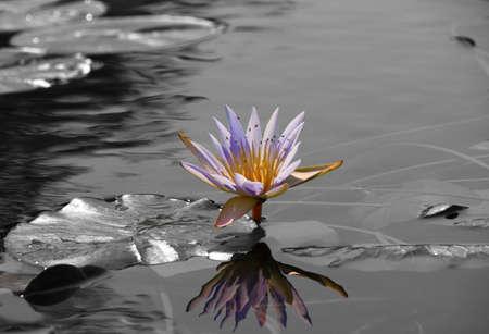 Okavango Delta: Water Lily, Okavango Delta, Botswana Stock Photo