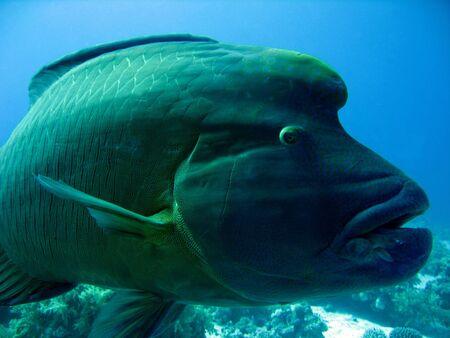 Close-up der Napoleonfish, Ras Mohammed, Ägypten