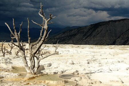 toter baum: Dead Tree, Mammoth Hot Springs Terrassen, Yellowstone, Wyoming, USA