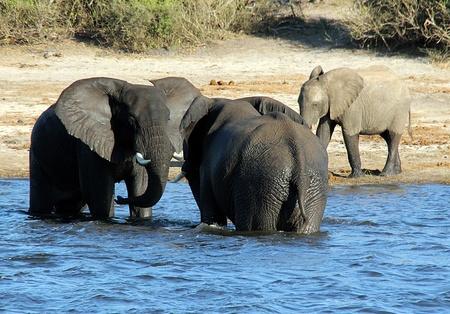 dueling: Dueling Elephants, Chobe River, Botswana