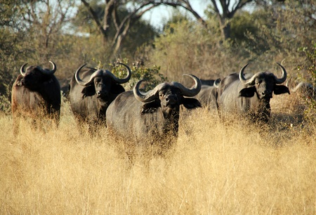 African Buffalos, Khwai River, Boswana Stock Photo