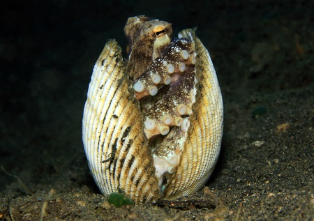 Coconut Octopus (Amphioctopus Marginatus) taking Shelter between Seashells, Lembeh Strait, Indonesia Stock Photo