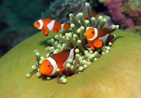 pez payaso: Tres occidental payaso Anemonefish en Anémona, Bunaken, Indonesia
