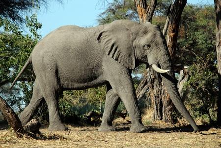 Elephant, Khwai River, Botswana Stock Photo - 13268394