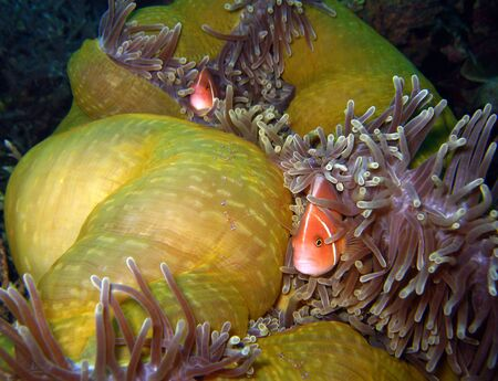 pink anemonefish: Pink Anemonefish   Tosa Commensal Shrimps, Panglao, Philippines