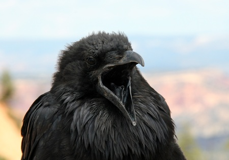 bryce: Raven With Open Mouth in Bryce Canyon, Utah, USA