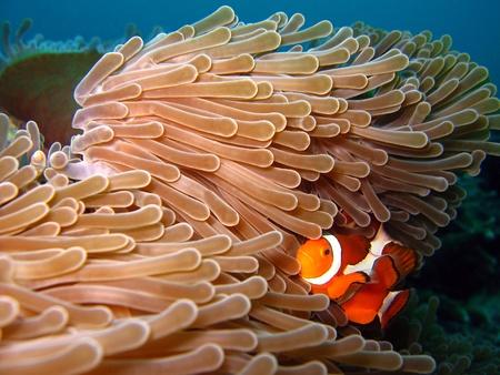 West-Clown-Anemonenfisch westlichen Clownfish, Martatua Island, Indonesien Standard-Bild - 13281088
