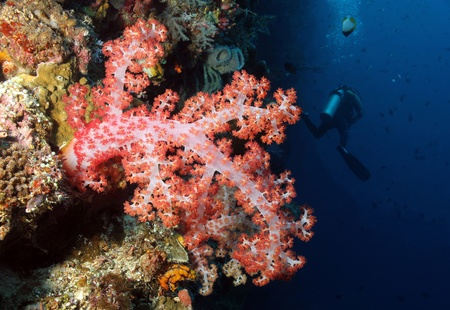 Soft Tree Coral and Diver, Bunaken, Indonesia