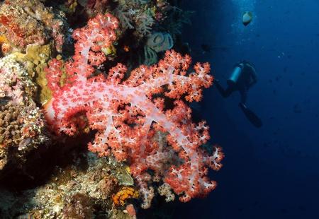 Weiche Korallen und Baum-Diver, Bunaken, Indonesien Standard-Bild - 13535939