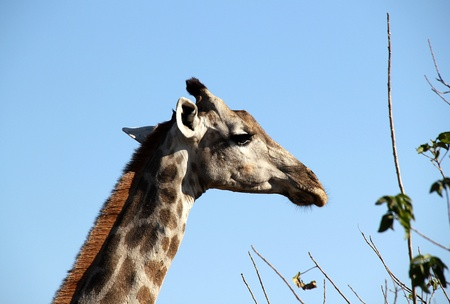 Giraffe, Khwai River, Botswana Stock Photo - 13579304