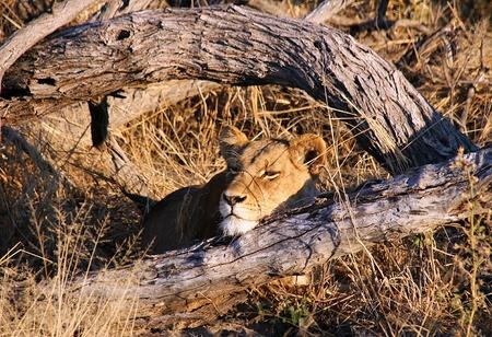 Lioness Resting, Khwai River, Botswana Stock Photo - 13579308