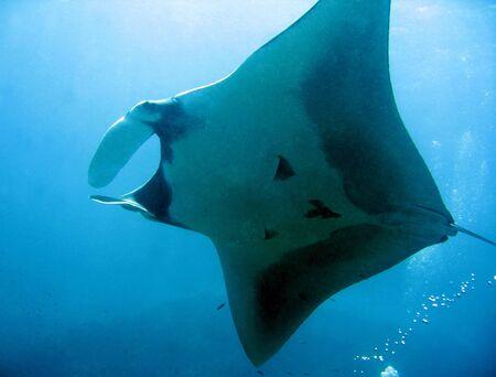 manta: Manta Ray From Underneath, Koh Bon, Thailand Stock Photo