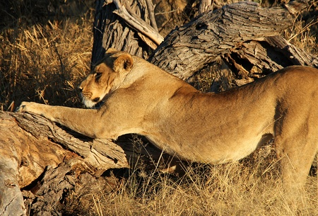 female lion: Lioness Doing Her Morning Stretch, Khwai River, Botswana