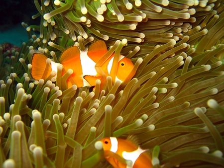 clown fish: Western Clown-anemonefish at Martatua Island, Indonesia