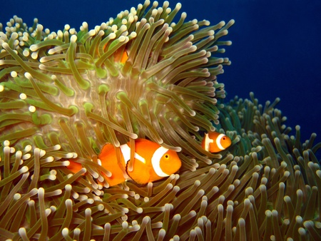 Western Clown-anemonefish at Martatua Island, Indonesia photo