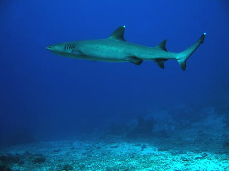 White-tip Reef Shark Swimming, Sipadan, Borneo, Malaysia Stock Photo