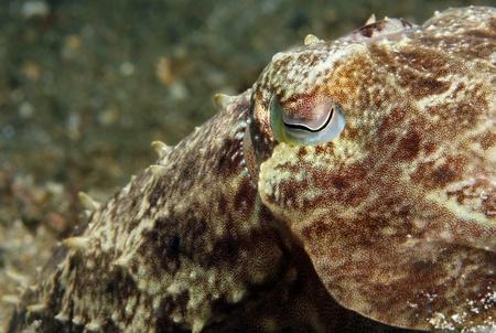 Close-up of a Broadclub Cuttlefish  Sepia Latimanus , Lembeh Strait, Indonesia Stock Photo - 13808097