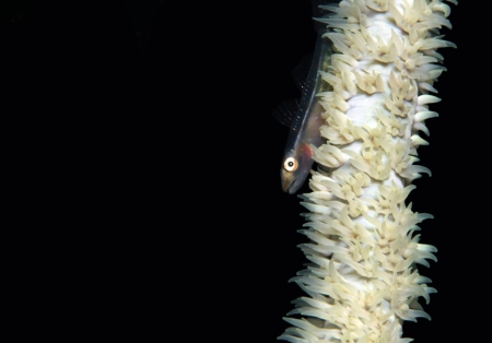 Many-host Goby  Pleurosicya Mossambica  on a Whip Coral, Lembeh Strait, Indonesia