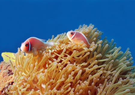 pink anemonefish: Pink Anemonefish  Amphiprion Perideraion  in Anemone, Bunaken, Indonesia Stock Photo