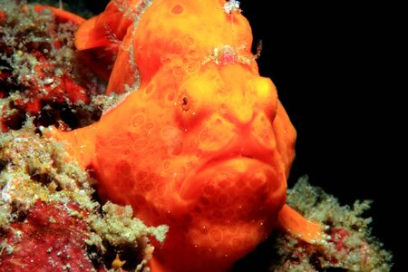 Close-up of a Red Painted Frogfish