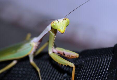 Praying Mantis Close-up, Manado, Indonesia photo