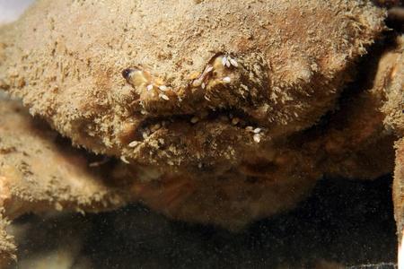 horrifying: Close-up of a Sponge Crab  Dromiidae , Bunaken, Indonesia
