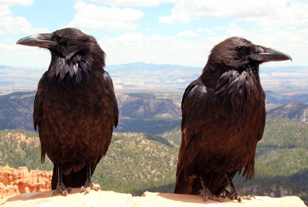 Ravens, Bryce Canyon National Park, Utah, USA Standard-Bild - 14396075