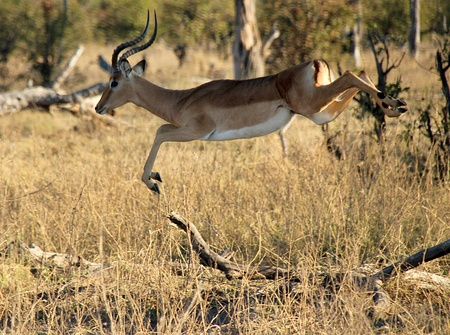 Impala: Impala Caught in the Jump, Moremi Game Reserve, Botswana Editorial