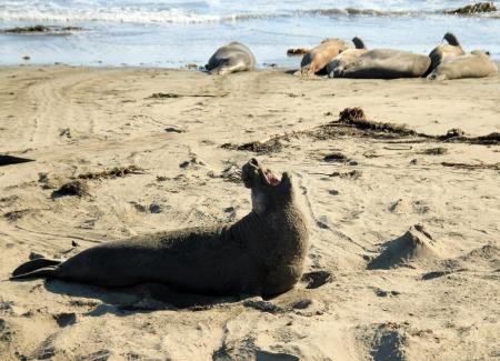 Elephant Seal, Piedras Blancas, California, USA Stock Photo - 14392451