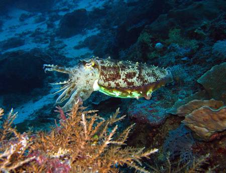 Broadclub Cuttlefish, Maratua, Borneo, Indonesia photo