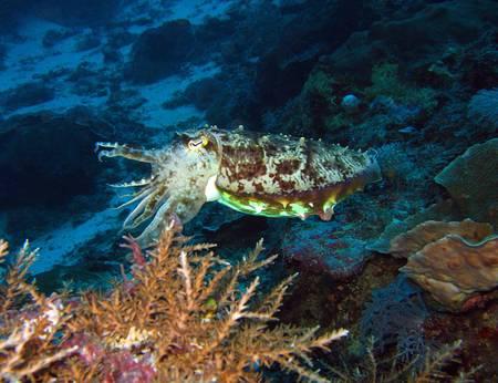 invertebrates: Broadclub Cuttlefish, Maratua, Borneo, Indonesia