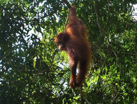 orang: Orangutan, Semenggoh, Sarawak, Borneo