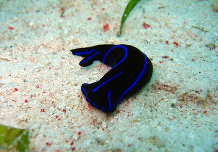 nudi: Philinopsis Gardineri, Panglao, Philippines Stock Photo