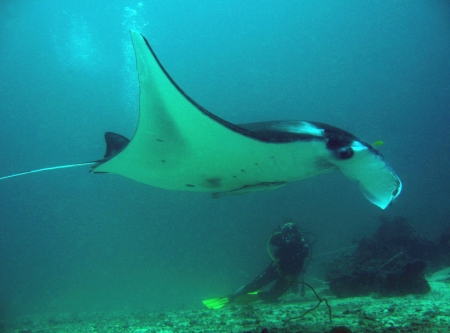 Manta Ray   Diver, Sangalaki, Indonesia photo