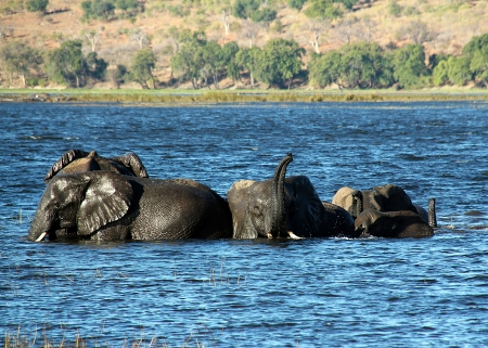 Elephants Bathing, Chobe River, Botswana
