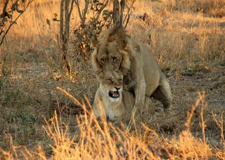 mating: Lion Couple Mating, Khwai River, Botswana