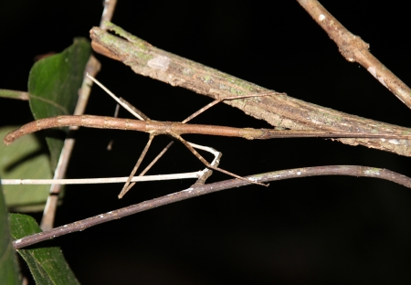 taman: Stick Insect Walking Stick Taman Negara, Malaysia Stock Photo