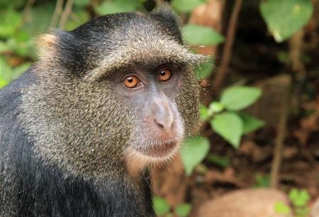 Close-up von einem Blue Monkey Cercopithecus mitis, Lake Manyara, Tanzania Standard-Bild - 14739682