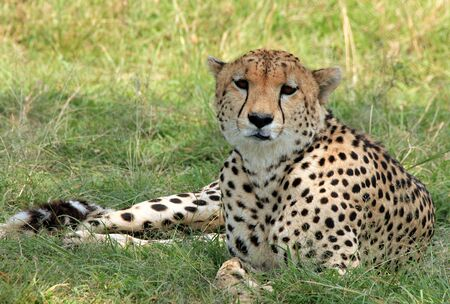 maasai mara: Cheetah  Acinonyx Jubatus  Lying in the Grass, Maasai Mara, Kenya