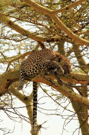 panthera pardus: Leopard  Panthera Pardus  in a Tree, Serengeti, Tanzania
