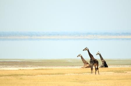 giraffa: Maasai Giraffes  Giraffa Tippelskirchi  at Lake Manyara, Tanzania