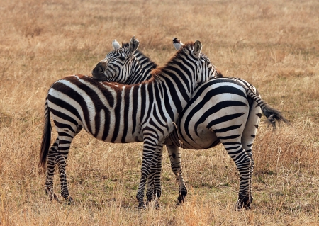 Plains Zebra  Equus Quagga  Couple, Moremi Ngorongoro Crater, Tanzania photo