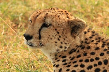maasai mara: Close-up di un Ghepardo (Acinonyx jubatus) Situato in the Grass, Masai Mara, Kenya