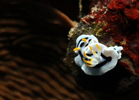nudi: Diana Magnificent Slug (Chromodoris Dianae), Bunaken, Indonesia