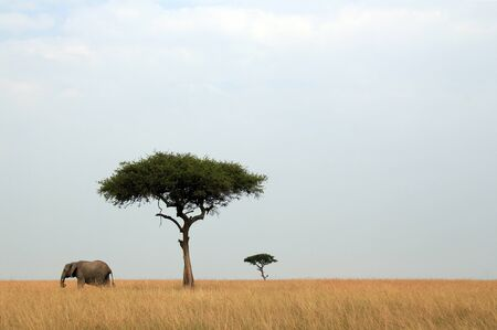 African Elephant  Loxodonta Africana    Acacia Trees on Savannah, Maasai Mara, Kenya photo
