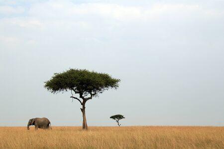 maasai mara: African Elephant Loxodonta Africana Alberi di Acacia su Savannah, Masai Mara, Kenya